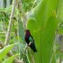 colibris falle rouge posé sur une branche