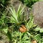 Ananas sauvage posé dans le gazon