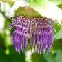 Fleur violette de passiflore ou pomme l'iane