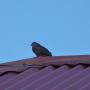 Une tourterelle sur les toits